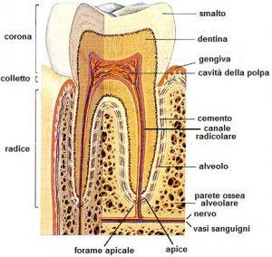 Struttura del dente e dei tessuti di supporto. Studio Dott. Lorelli